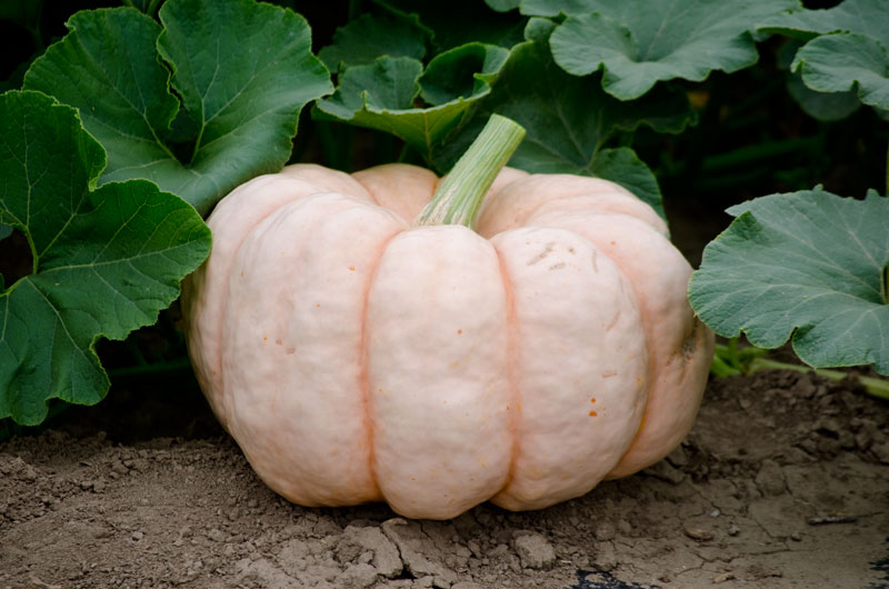 Growing Magazine: America's Pumpkin Growers Unite in the Fight Against Breast Cancer